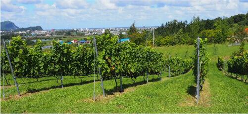 農地拡大が進む有機認定ほ場ブドウ畑